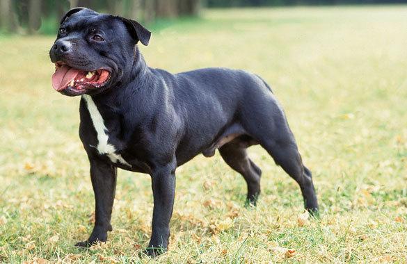 Staffordshire Bull Terrier_legislarweb